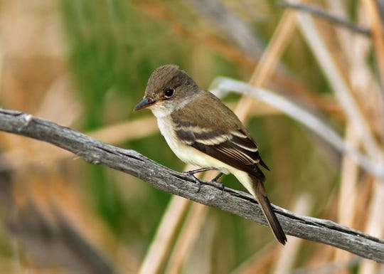 A Southwestern Willow Flycatcher is photographed courtesy of Rick Fridell.