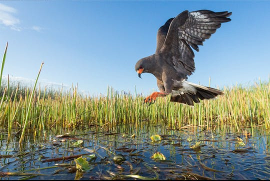 The endangered Florida Snail Kite.