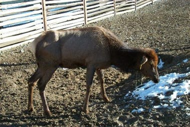A sick elk displaying the late stage symptoms of Chronic Wasting Disease