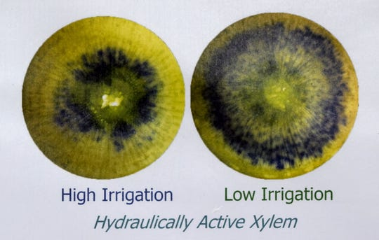 The blacken dyed tissue indicates the impact of high and low irrigation practices on the xylem of ponderosa pine seedlings. Research that is being conducted at New Mexico State University's John T. Harrington Forest Research Center at Mora.