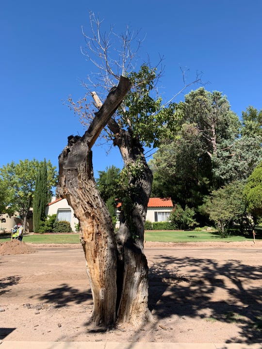 One of four trees in Pioneer Women's Park slated for removal on Nov. 4, 2019.