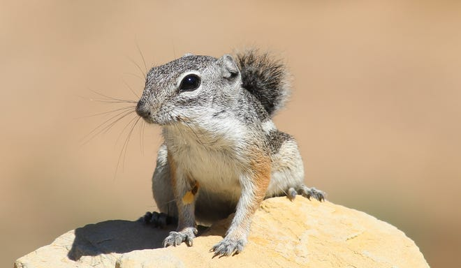 The Texas antelope squirrel is typically less than 9 inches  in length and has a mostly plant-based diet supplemented by the occasional insect.