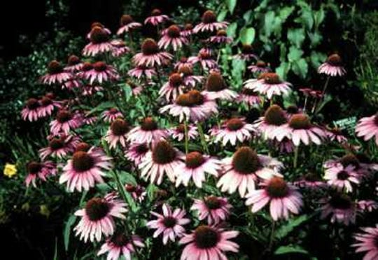 The purple coneflower, Echinacea purpurea, is known for its hot pink flowers, and blooms in spring, summer, and fall.