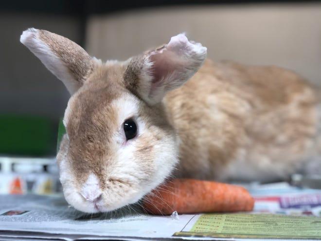 Bongo the bunny has a $10 adoption fee.