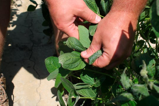FILE - In this July 11, 2017, file photo, farmer Reed Storey shows the damage to one of his soybean plants in Marvell, Ark. The Arkansas Plant Board fined Jeffrey Todd, a Missouri farmer, with $105,000 for using an herbicide when it was banned in the state because farmers say it harms some plants. The board's hearing on Wednesday, Oct. 23, 2019, concluded that Todd had 11 violations involving dicamba application on a field he farmed east of Piggott, near the Arkansas-Missouri border.