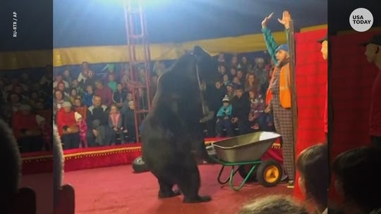 Terrifying video shows the moment a 660-pound circus bear turns on trainer and attacks him