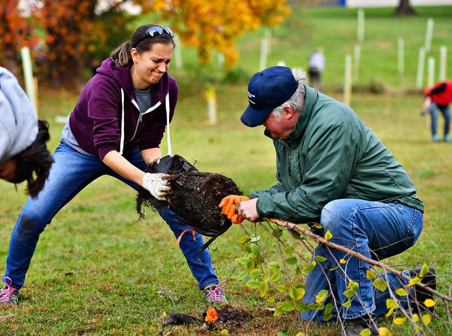 Jess Heindel, left, of Springettsbury Township, and Penn State Master Watershed Steward Fred Oleson, of West Manchester Township, work together to free a tree from its container as dozens of community volunteers work together to plant native trees and bushes along Hartman Run at Shadow Brook Intermediate School in Manchester, Saturday, Oct. 26, 2019. Fully funded by the Pennsylvania Department of Natural Resources and hosted by Penn State Master Watershed Stewards and The Alliance for the Chesapeake Bay, 800 native trees and bushes would be planted over a three-day period, completing the first phase in establishing a 20-acre riparian forest buffer. Dawn J. Sagert photo