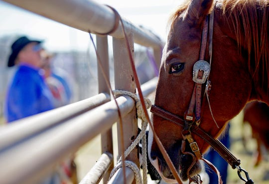 A horse waits in a corral prior to the start of the 2019 Cinch Roping Fiesta in San Angelo on Saturday, Oct. 26, 2019.