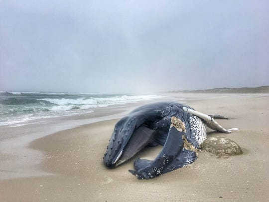 A whale washed ashore in Island Beach State Park on Sunday.