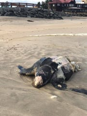 A dead sea turtle washed ashore in Monmouth Beach on Sunday.