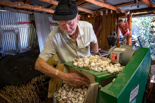 Stanley Crawford uses a machine to brush and clean Russian red garlic at his farm in Dixon, New Mexico.