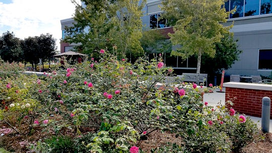 A multitude of roses donated by Bill Dority line the pathways and fill the beds of the Healing Garden.