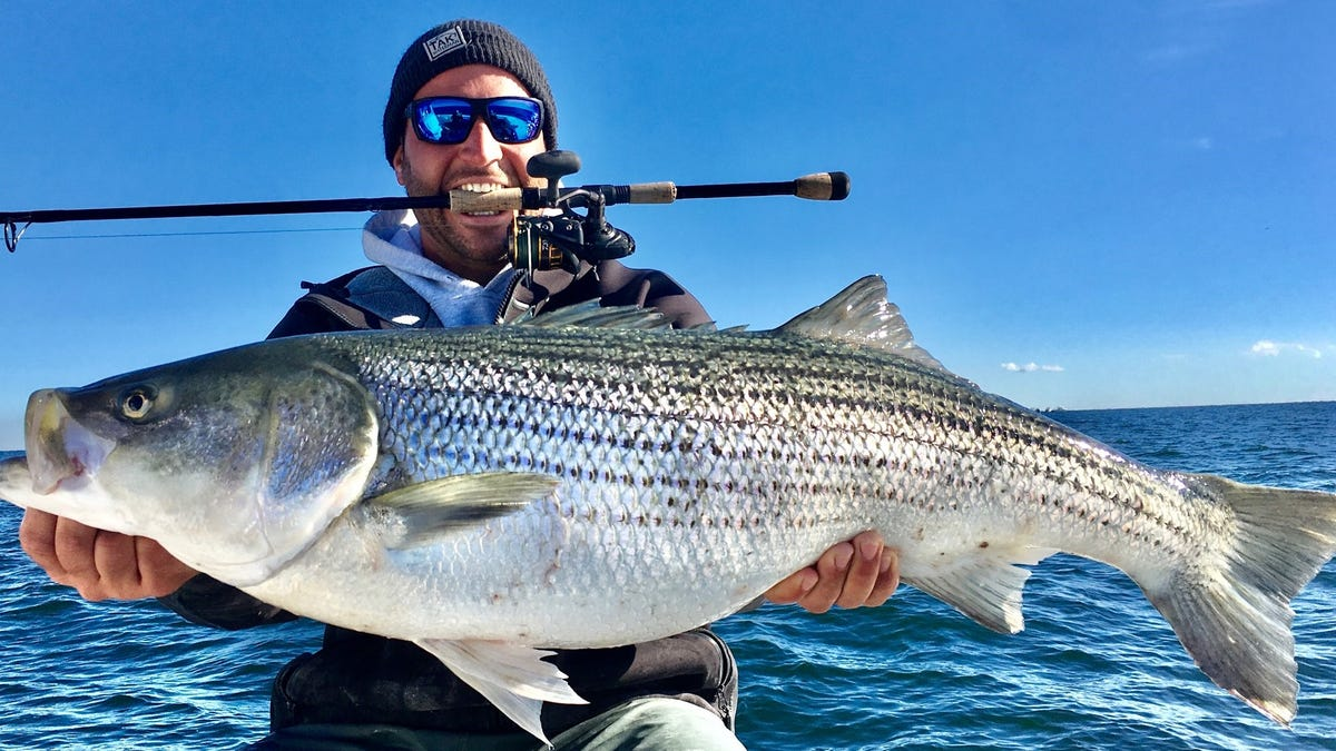 Fall striped bass run has delivered fish over 50 pounds