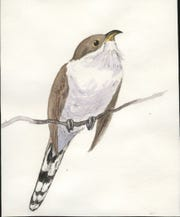Illustration of yellow-billed cuckoo
