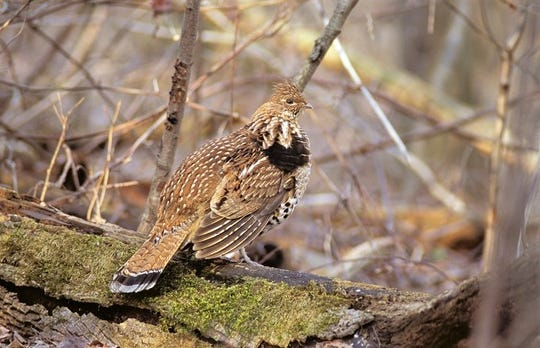 A three-year study is a region-wide effort to help better understand West Nile virus in ruffed grouse in Michigan, Minnesota and Wisconsin.