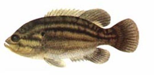 A mud sunfish