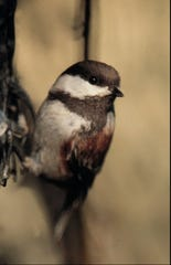 The chickadee, shown in an undated file photo, is one of the varieties of birds that a casual bird feeder might entice to show up in their backyard.