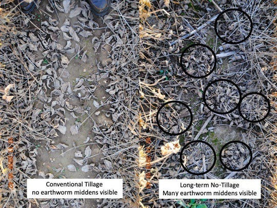 Very few nightcrawler middens were found in conventional tilled soil plots compared to long-term no-till soil plots.