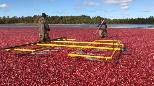 Zeke Cutts, left, and Walter Spell help harvest cranberries at their family's farm in Bass River.