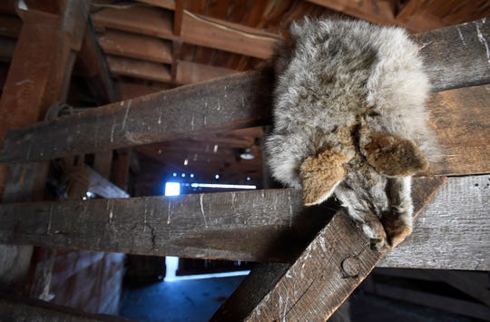 A coyote pelt hangs from a gate inside Jay Fetcher's barn at his ranch north of Steamboat Springs, Colo. on Wednesday, Oct. 9, 2019.