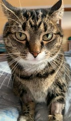 Kitty is a domestic short-haired cat rescue cat belonging to Danielle Schafer, a clinical vet student at Cornell University.