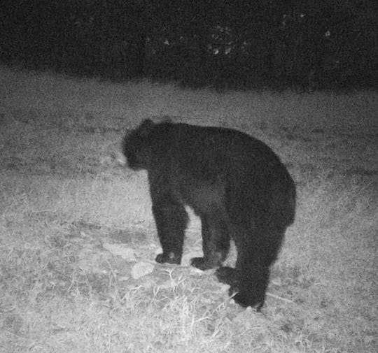 A black bear was caught on camera in late October 2019 near Hunters Lane off of Dickerson Pike, about 10 miles north of downtown Nashville.