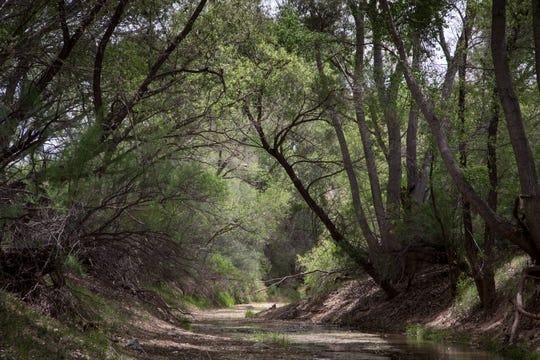 A canopy of trees runs along the San Pedro River on Three Links Farm near Cascabel.