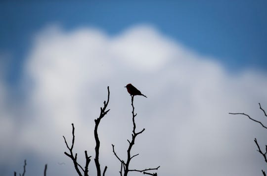 Vermilion flycatchers are among the San Pedro River's more than 350 bird species.