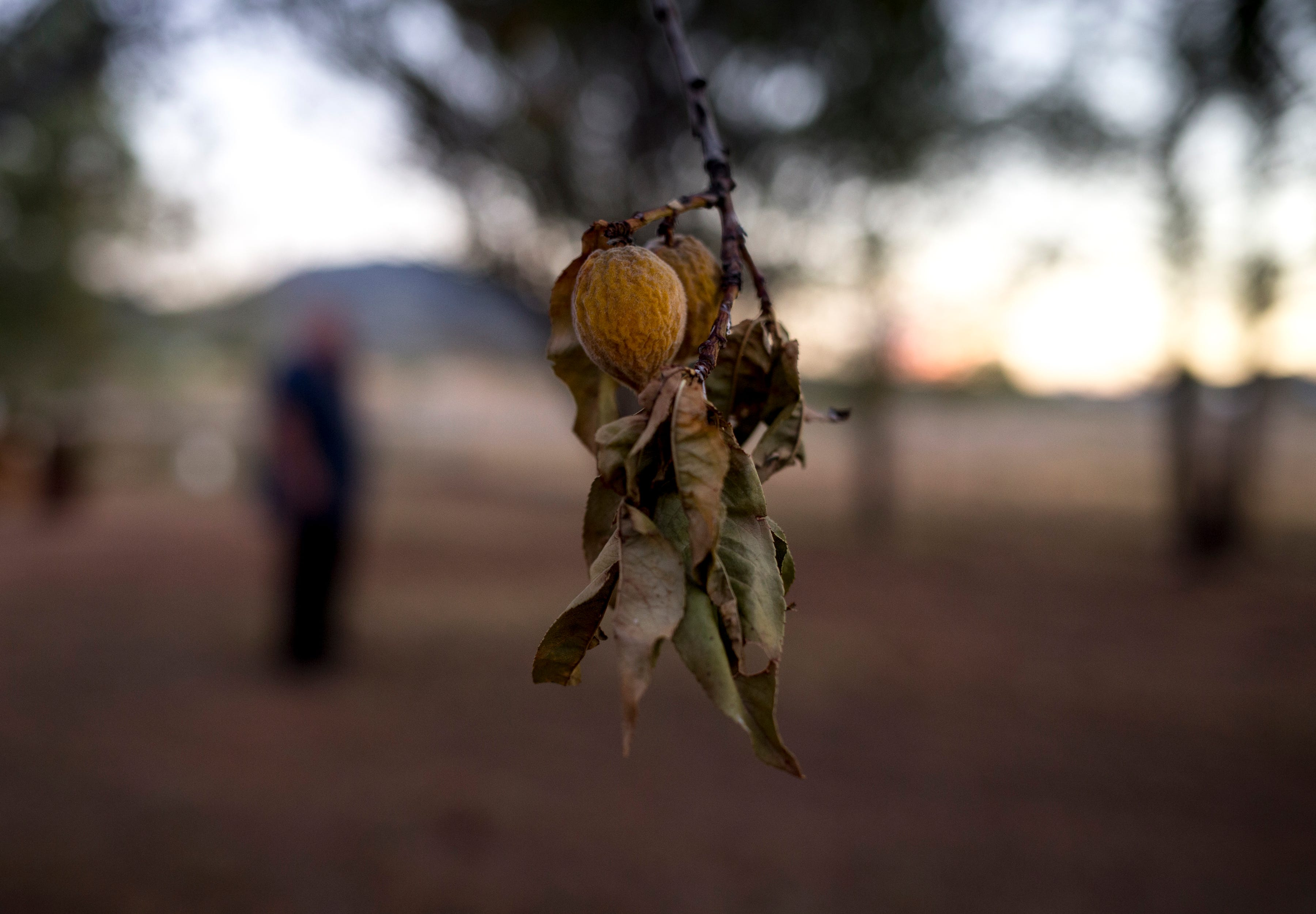 An apricot tree on the property of Richard Wilson, August 13, 2019, Cochise, Arizona. Wilson stopped watering his trees after his well went dry.
