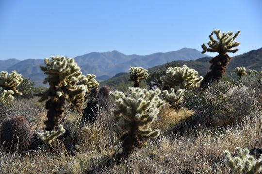 Cholla cactus frames views of the Cave Creek Mountains.