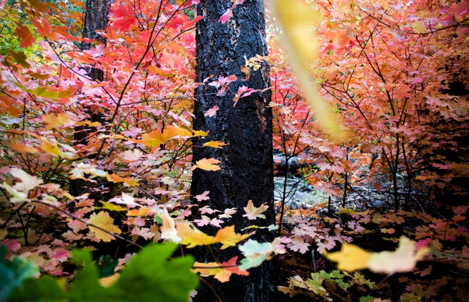 The trunk of a conifer tree is surrounded by maple leaves on the West Fork trail in Oak Creek Canyon near Sedona on Monday, Oct. 14, 2019.
