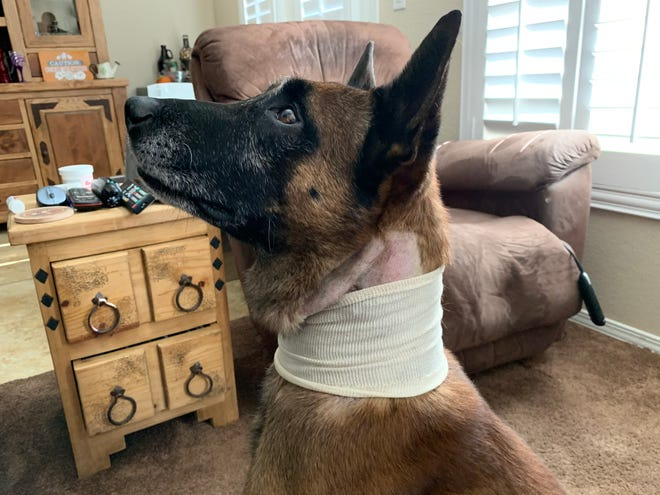 Hunter, a police dog that landed in emergency surgery over the weekend after being stabbed multiple times, is expected to make a full recovery, according to authorities.