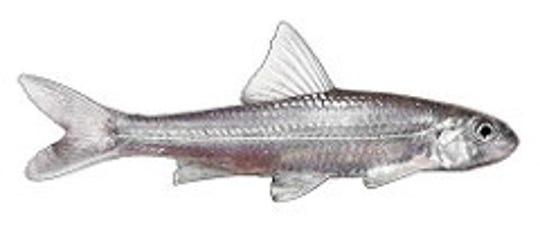 Silver chub