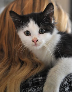 Meet Bolt. He is a 10-week-old Domestic medium-haired kitten that wants to find his loving family's home. He is good with dogs and likes to cuddle. Bolt can be found at the Humane Society of Wichita County.