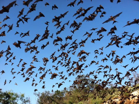 At least 70-80 of bats invaded the Natchitoches Central gym Friday night during the Lady Chiefs' basketball game with Haughton. This photo is from Tucson, Arizona, and is courtesy of the USFWS.