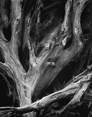 Sequoia Roots, c. 1950