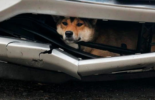 In this Monday, Oct. 28, 2019 photo provided by the Rotterdam, N.Y., Police, Coco, a Shiba inu, is trapped inside the bumper of a car.