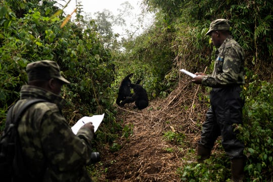 In this Sept. 4, 2019 photo, gorilla trackers Emmanuel Bizagwira, right, and Safari Gabriel observe two gorillas from the Agasha group as they play in the Volcanoes National Park, Rwanda.