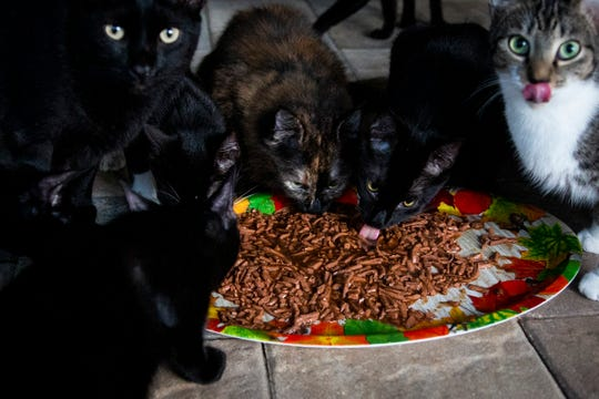 "Tammy Nemec's rescue cats eat breakfast at her home in North Fort Myers on Wednesday, October 30, 2019. Nemec's cats live both inside her house and outside on a lanai, which she has dubbed the ""catio."""