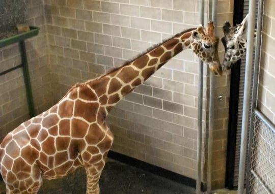 Nigel, left, nuzzles Zuri shortly after their introduction at the NEW Zoo in Suamico. The public will get its first chance to see Nigel, a 9-year-old male reticulated giraffe, on Saturday, Nov. 2, 2019.