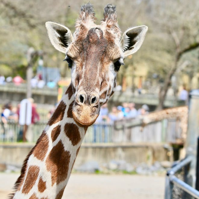 Marilyn, a nearly 26-year-old giraffe passed away after first coming to the Memphis Zoo in 2002.