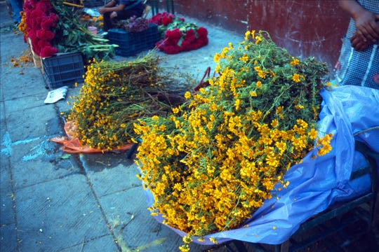 Pungent Tagetes erecta wildflowers from southern Mexico are pungently scented to lure the dead to home altars and show the way back to the grave with a petal trail.