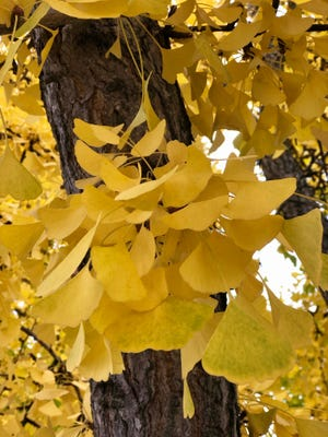 The vibrant golden leaves on these gingko trees will be gone in the blink of an eye. Photo taken Oct. 30., 2019 on West Frederick Street in Staunton.