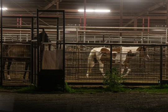 Two horses pass along a fence before being loaded into a Mike McBarron's trailer.