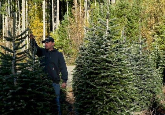 Josh Olmsted talks about how they stake the tops of the trees to keep them growing straight at his Olmstead Tree Farm in Poulsbo.