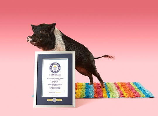 Joy the pig posed next to her Guinness World Record certificate