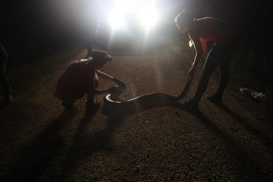 Donna Kalil and her daughter Deanna Kalil hunt for Burmese pythons in the Everglades west of Miami on Monday October, 28, 2019. Donna is part of the South Florida Water Management District's python hunting team. She has pulled hundreds of the invasive snakes from the Everglades. The duo captured three snakes on this evening.