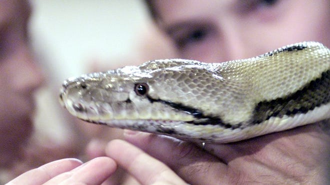Autopsy 8 Foot Python Strangled Indiana Woman In House Of Snakes