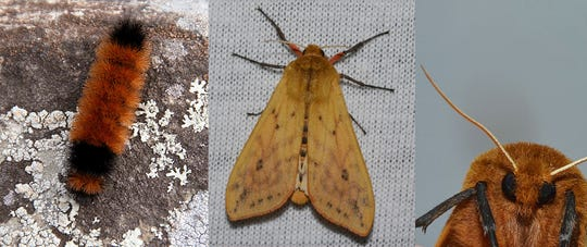 Caterpillar and adult Isabella tiger moth.