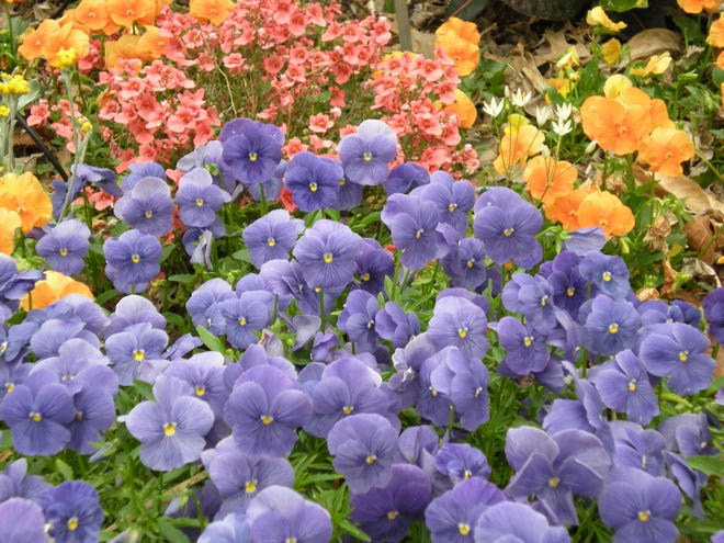 Pansies, Diascia, and other cool season annuals can be planted in sunny areas of your landscape now to add color.